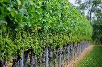 Der Wein reift immer früher – was vom 2018er Jahrgang zu erwarten ist