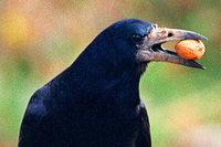 Wie clevere Krähen den Mundenhof-Tieren das Futter stehlen – und manchmal den Nachwuchs