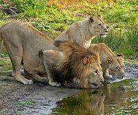 Löwen erlegen Wilderer