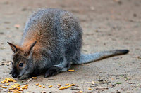Bombacher Känguru wohl in Seelbach und Weisweil gesichtet