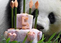 Berliner Panda Meng Meng wird fünf