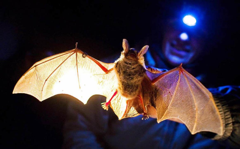 Jäger der Nacht: Fledermäuse  | Foto: dpa