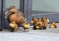 Seit 30 Jahren watscheln Enten durch den Hof des Landgerichts