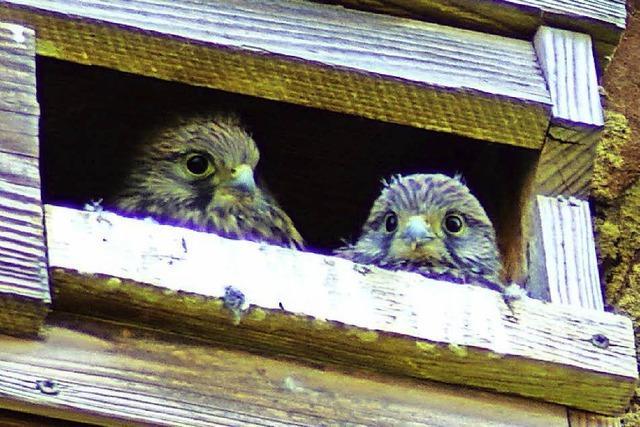 Die jungen Vögel sind flügge