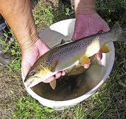 Über 100 Fische in Zell gerettet