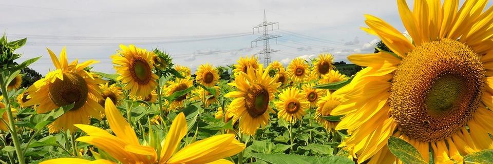 Auf Irrwegen durchs Sonnenblumen-Labyrinth in Opfingen
