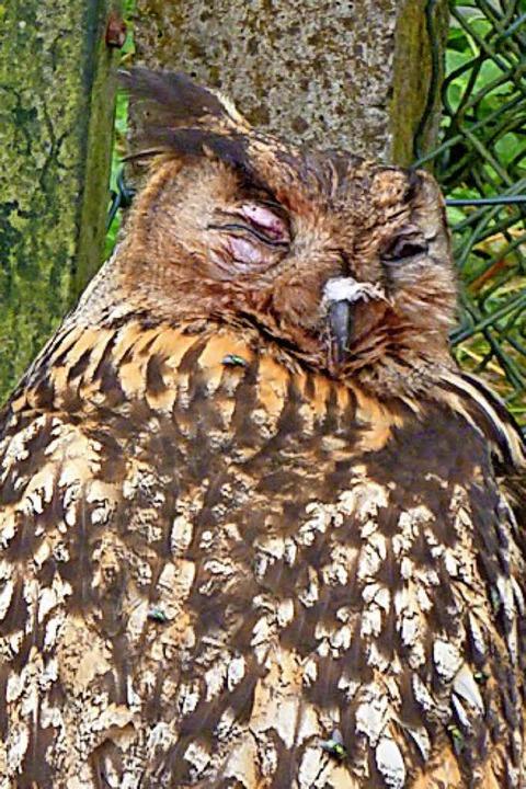 Durch einen Unfall beinahe blind: das Reutemer Uhu-Weibchen.   | Foto:  Hermann Birkle