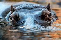 In Sambia werden Flusspferde zur Jagd freigegeben