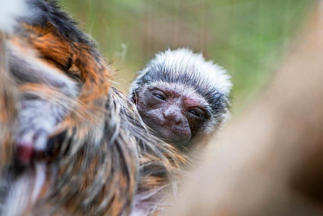 Entdeckt die Welt: ein junges Liszt-Äffchen  | Foto: Zoo Basel (Torben Weber)