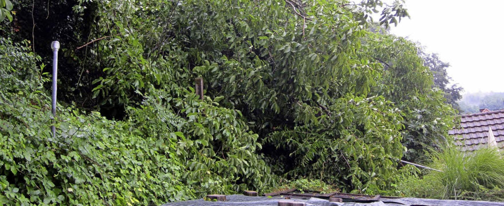 Im sogenannten Mastjahr haben die Bäum...leiden aktuell unter der Trockenheit.   | Foto: kor