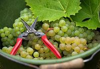 Winzer befürchten Traubenabwurf wegen der Trockenheit