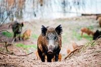 Der Südwesten wappnet sich für die Schweinepest