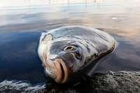 Durch die Trockenheit droht ein Fischsterben in südbadischen Flüssen