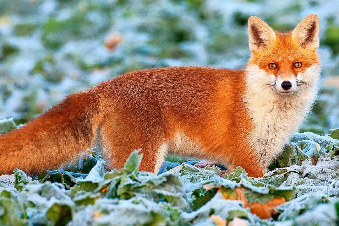 Der Fuchs starb  bei dem Zusammenstoß mit der Radlerin.    Foto: dpa