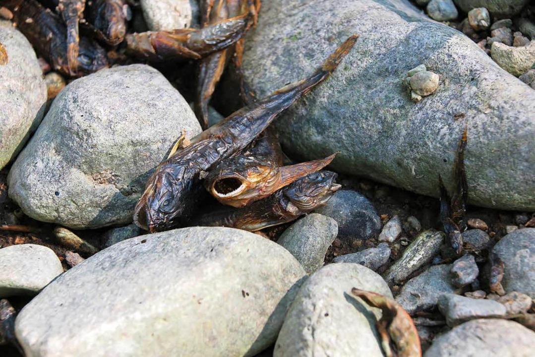 Diese toten Fische stammen aus dem Rot...en Ortsausgang von Zarten zur Dreisam.  | Foto: Bela Johannes Bender