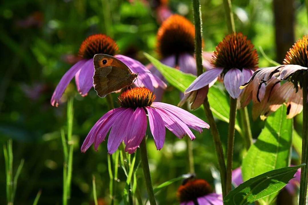 Der Rostbindige Samtfalter macht es sich auf einer Echinacea-Pflanze gemütlich.  | Foto: Rita Eggstein