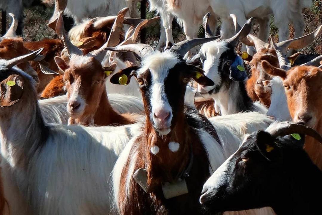 Die Ziegen am Ätna wurden mit Sensoren ausgestattet.  | Foto: dpa