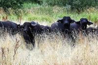 Wie Wasserbüffel Feuchtwiesen schön feucht halten