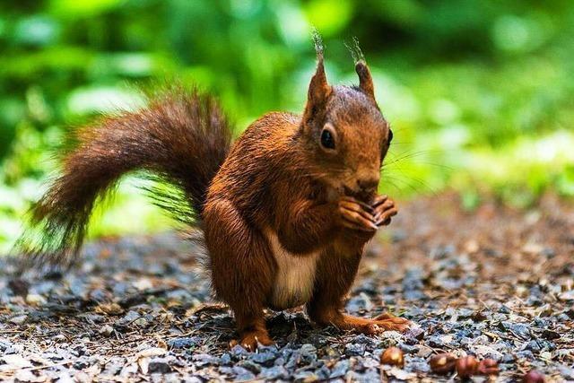 Mann ruft die Polizei – weil ihn ein Eichhörnchen verfolgt