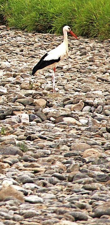 Im trockenen Bett der Dreisam sucht dieser Storch nach gestrandeten Fischen.     Foto: Horst David
