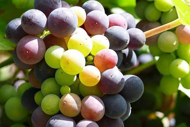 Klimawandel stellt Markgräfler Weinbau vor immer größere Herausforderungen