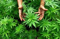 Hubschrauberstaffel der Polizei entdeckt Cannabis-Plantagen in der Ortenau