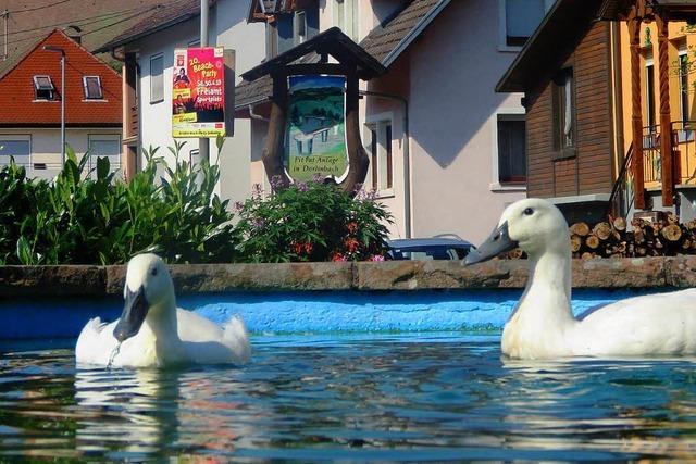 Provinzpossen-Alarm: Ärger um badende Enten in Dörlinbach
