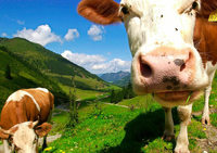 In der Schweiz werden die Kühe zu groß und zu schwer