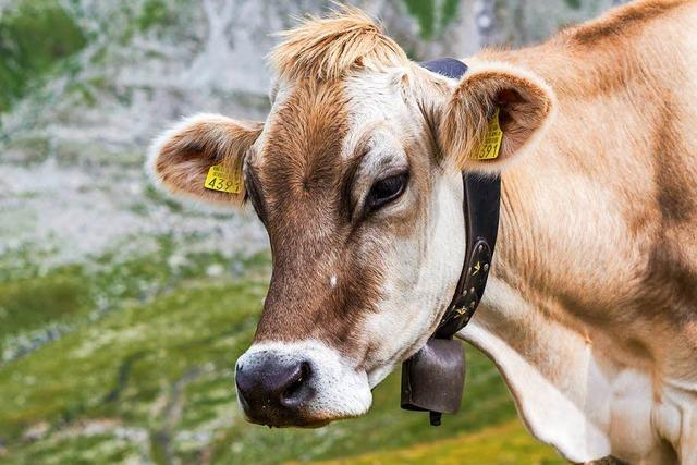 Schweizer Kühe werden zu dick für die Almwiesen