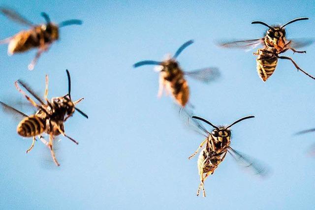 Wie man sich gegenüber Wespen und Hornissen richtig verhält
