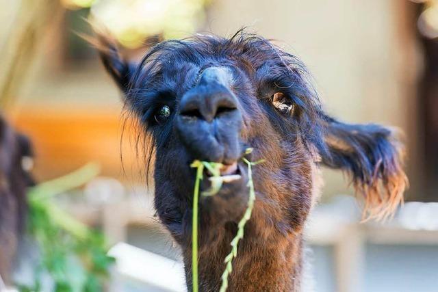 Zuwachs für die Lamas im Basler Zoo