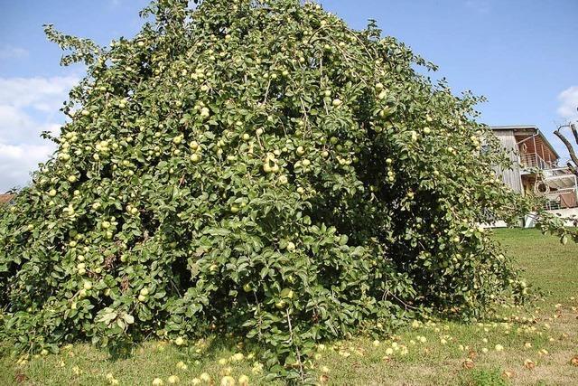Wohin mit all den schönen Äpfeln?