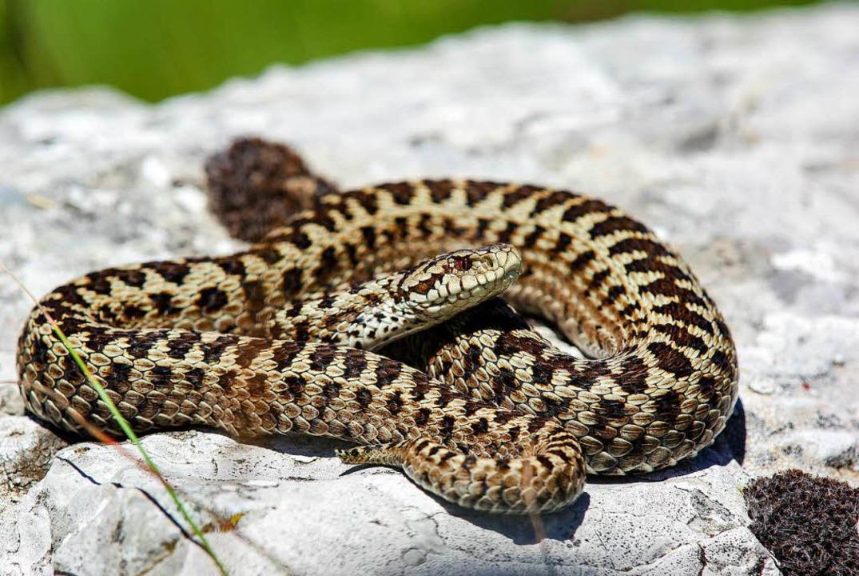 Die kleinste europäische Giftschlange, die stark gefährdete Karstotter.  | Foto: -