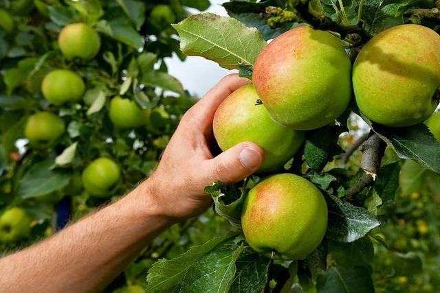 Landwirte in der Region gehen von einem guten Apfeljahr aus