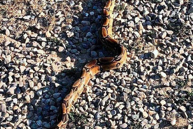 Endinger findet Boa constrictor – und steckt sie in einen Stoffsack