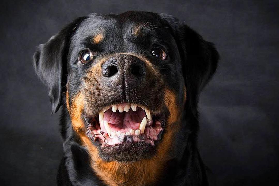 Ein Rottweiler und zwei Schäferhunde m...im Futter betäubt werden. (Symbolbild)  | Foto: TMakotra / Fotolia.com