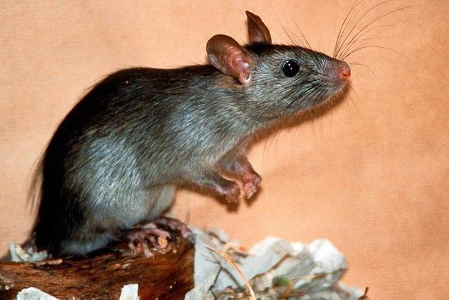 Essensreste locken in den Städten die Ratten an