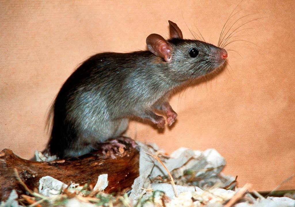 Abfälle locken noch mehr Ratten an. (Symbolbild)    Foto: Zoologische Staatssammlung