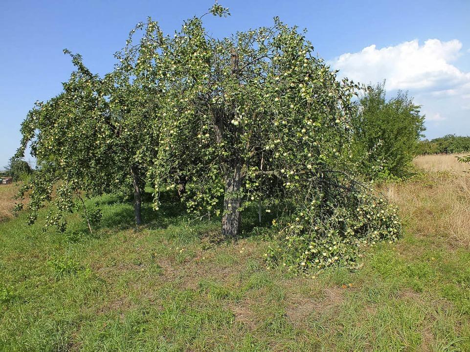Unter der starken Last der Früchte sin...ickt, wie hier in Kappel-Grafenhausen.  | Foto: Rudi Rest