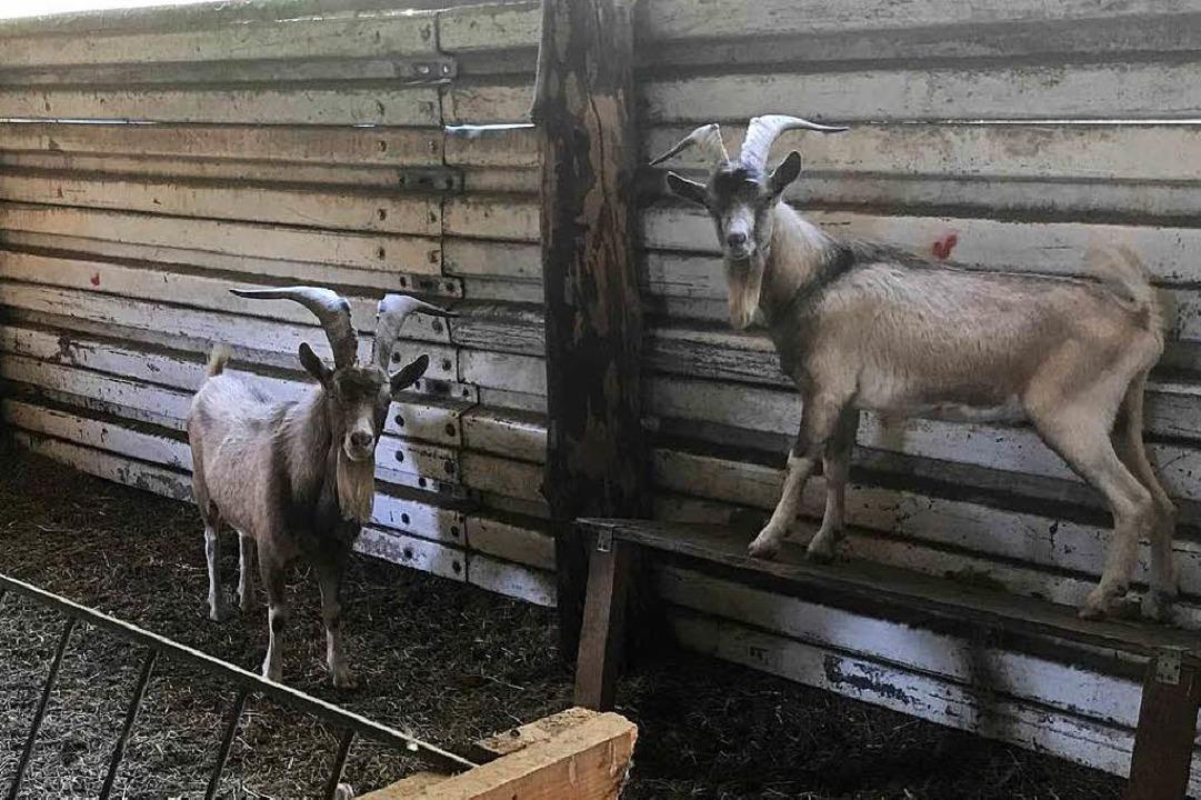 Die Musen der Polizei: zwei Ziegenböcke unbekannter Herkunft    Foto: Polizei