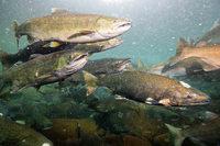 Ausgebrochene Lachse könnten zu Öko-Desaster werden