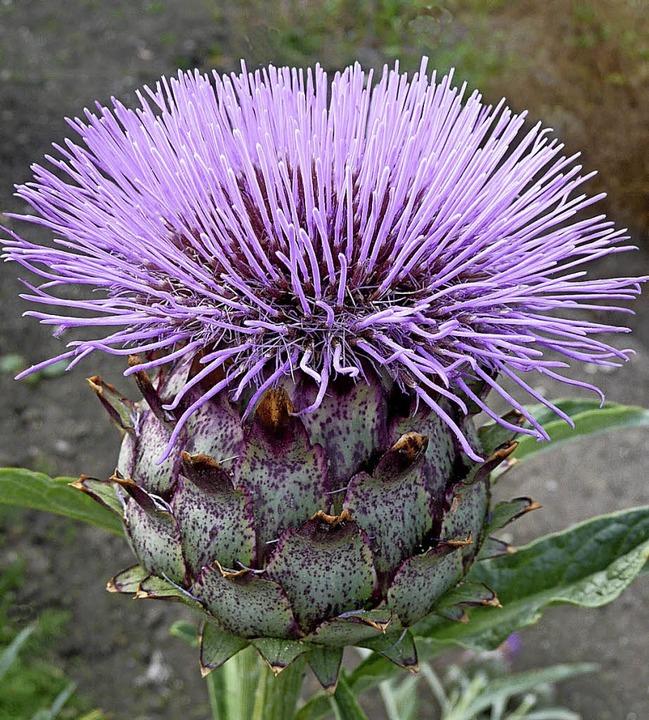 Artischocken sind als Gemüse gut bekan...rpflanzen machen sie eine gute Figur.   | Foto: gitu