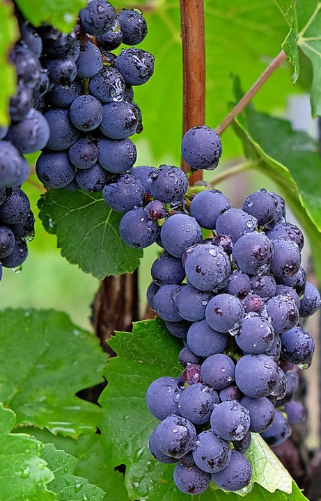Viel Wein zu probieren gibt's bei Wein-Musik-Genuss     Foto: Pfefferle