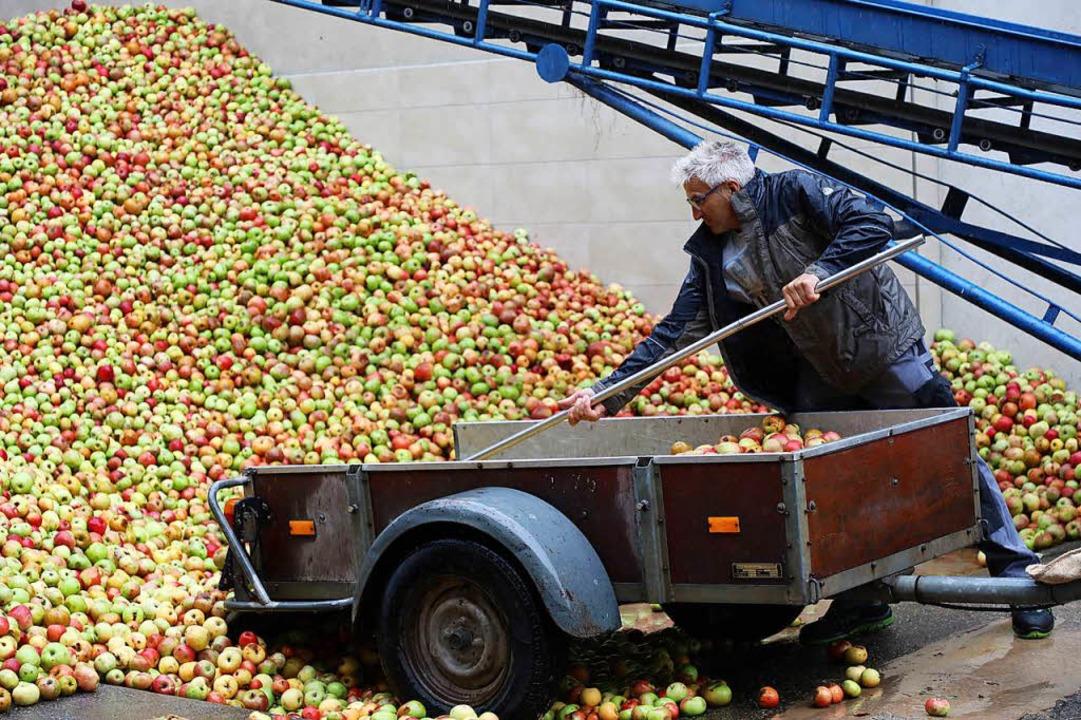 Beim Fruchtsafthersteller Fürle wurden...er Woche 300 Tonnen Äpfel abgeliefert.  | Foto: Christoph Breithaupt