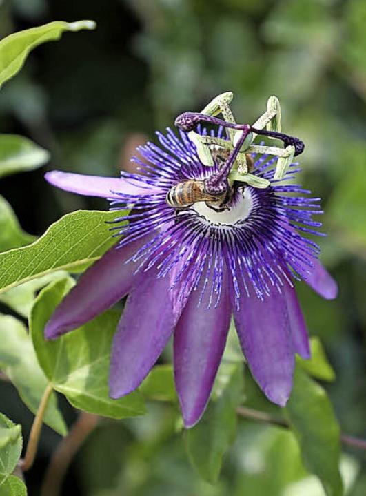 <BZ-FotoAnlauf>Im Alajuela-Garten:</BZ...tische Pflanzen aus Zentralamerika      | Foto: Christoph Breithaupt