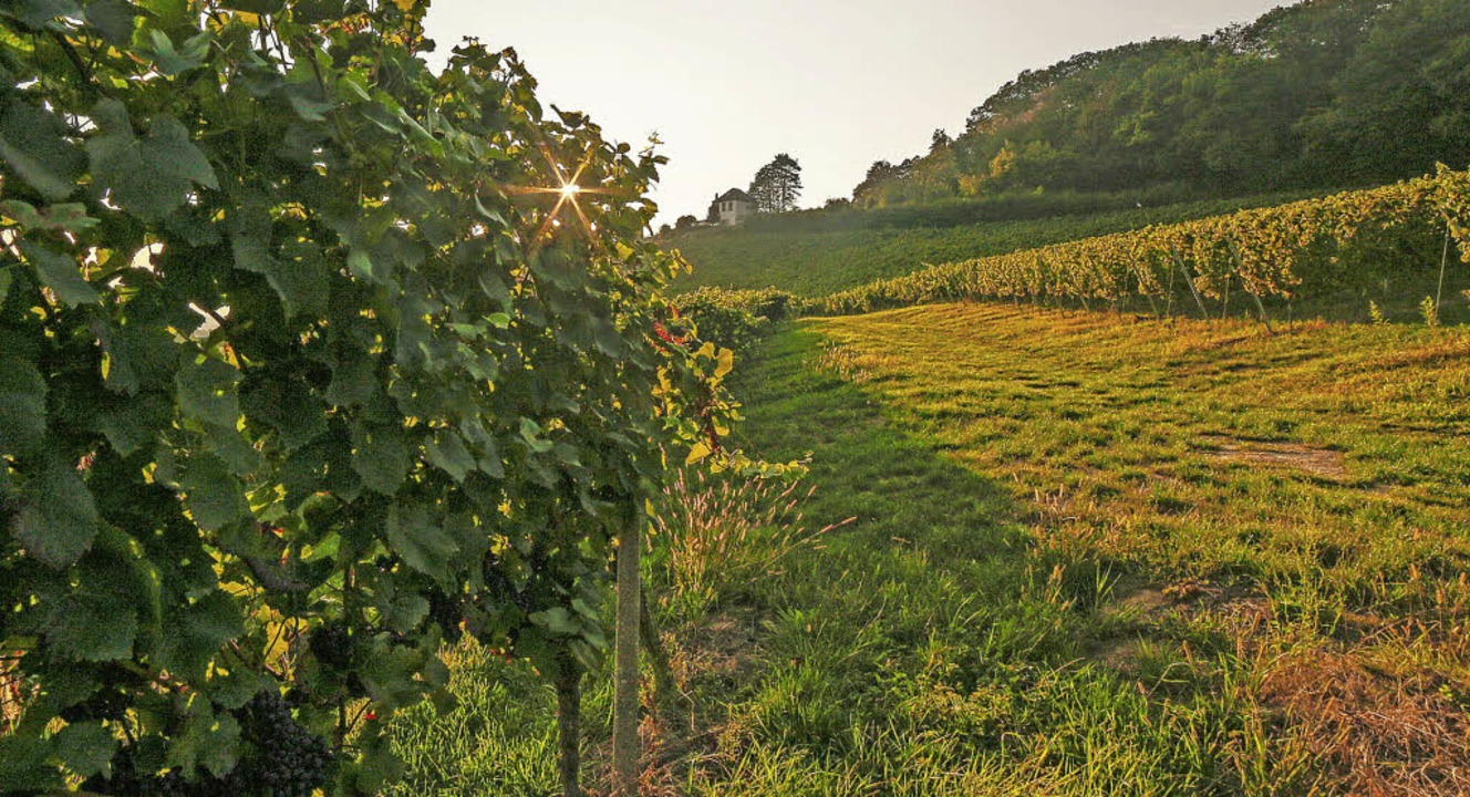 Die Weinberge der WG Kippenheim-Mahlberg-Sulz auf der Haselstaude   | Foto: Sandra Decoux-Kone