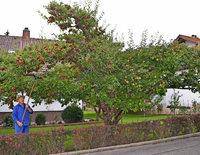 Dieser Apfelbaum trägt 9 verschiedene Sorten Äpfel – Naschen erlaubt
