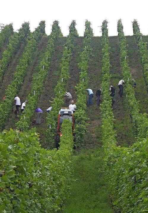 Die Weinlese hat an vielen Orten  bere...ch die Qualität die Winzer zufrieden.   | Foto: SENF