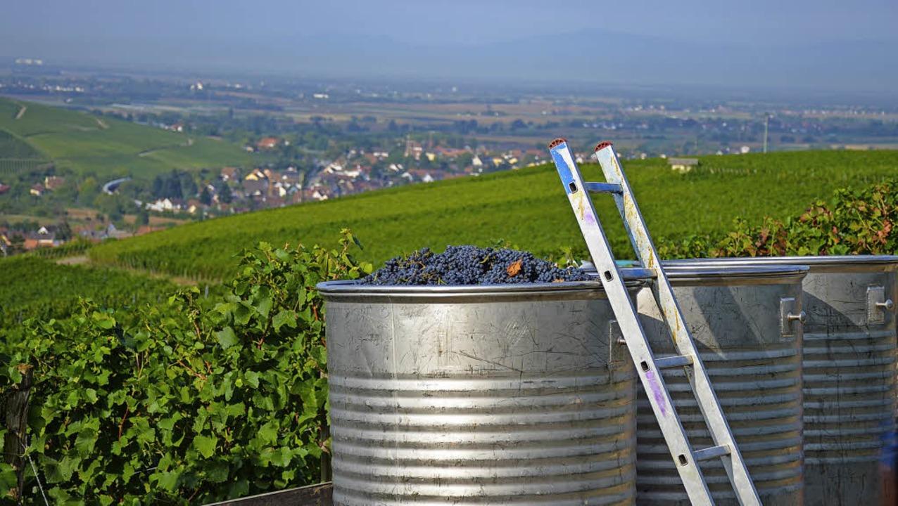 Volle Bottiche: Die Traubenmengen stimmen, so auch am Batzenberg.   | Foto: Gabriele Hennicke