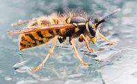 Gibt es ein unschädliches Mittel, um Wespen zu vertreiben?